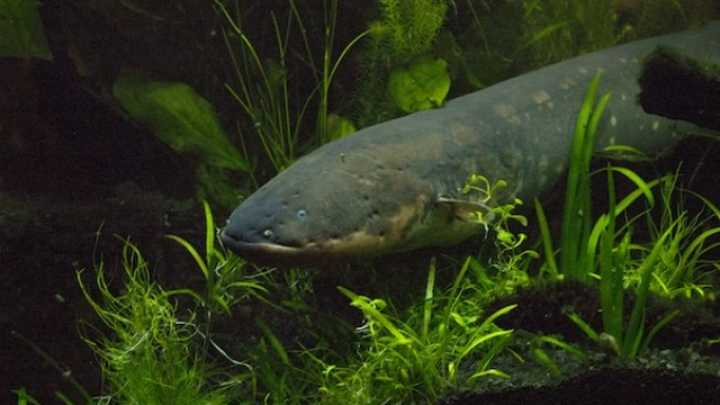 Voltage of an Electric Eel