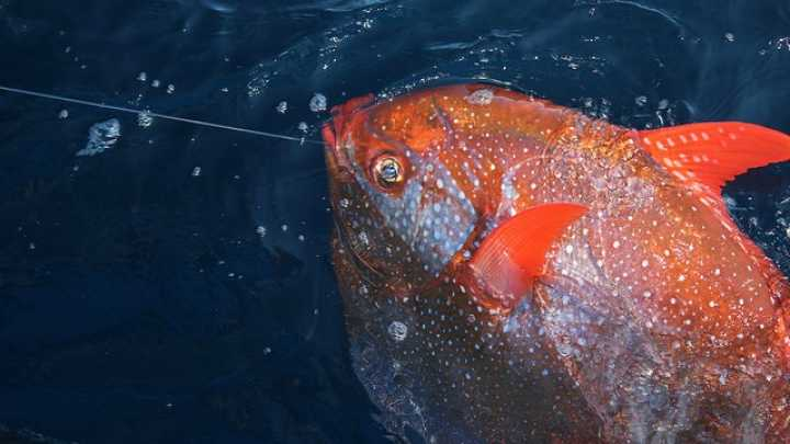 Researchers reveal the first warm blooded fish iflscience for Warm blooded fish