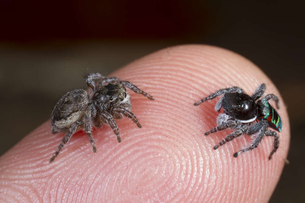 Unlike Most Other Arachnids Majestic Jumping Spiders Can