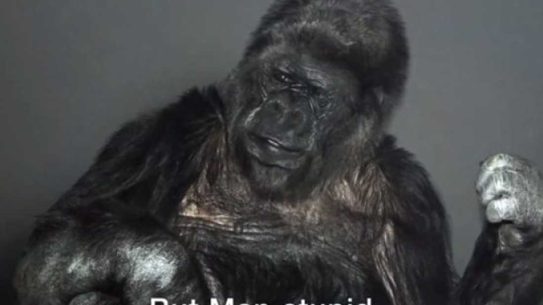 453 Koko The Gorilla Has A Message For Mankind