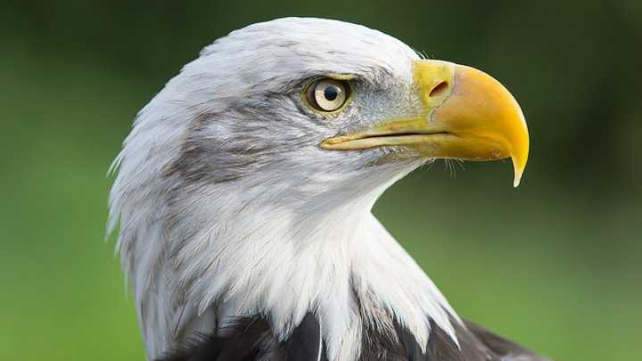 an overview of the bald eagle species of the american bird Show class a photo of an american bald eagle and see if they  the incubation period of bird eggs varies from species to  bringing up birdy: lesson overview.