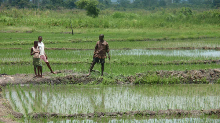 Scientists Develop A Strain Of Genetically Modified Rice That Neutralizes HIV