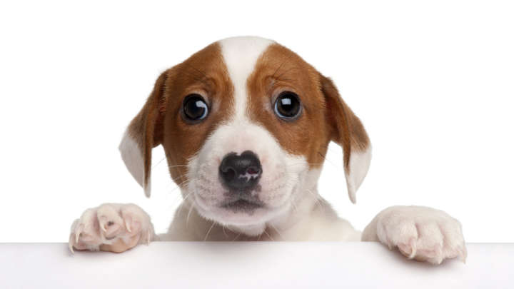 Dogs Manipulating With Puppy Dog Eyes