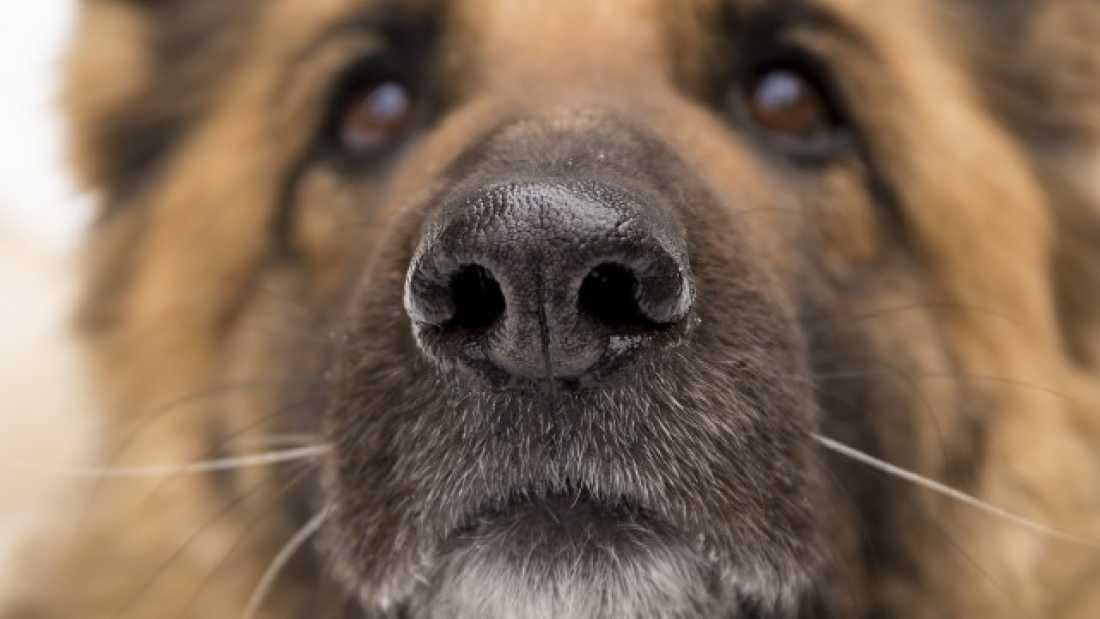 1554 Bomb Sniffing Dogs Detect Prostate Cancer With More Than 95% Accuracy