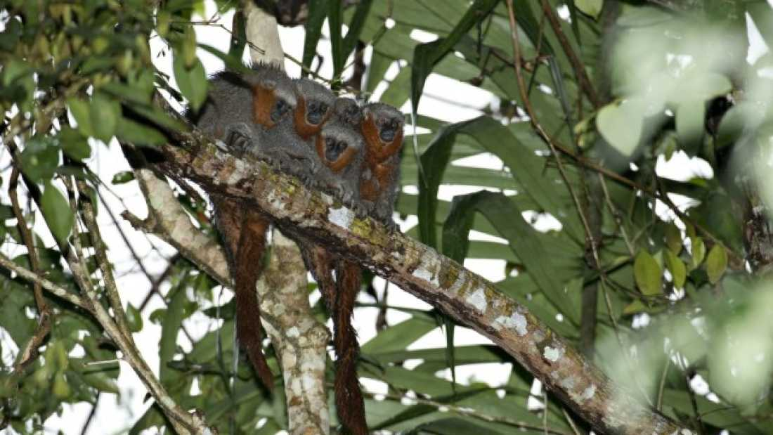 1171 New Species of Monkey Discovered In Amazon Rainforest