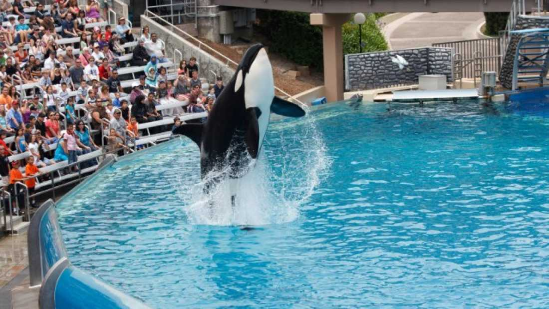 2856 California Just Banned SeaWorld From Breeding Captive Orcas