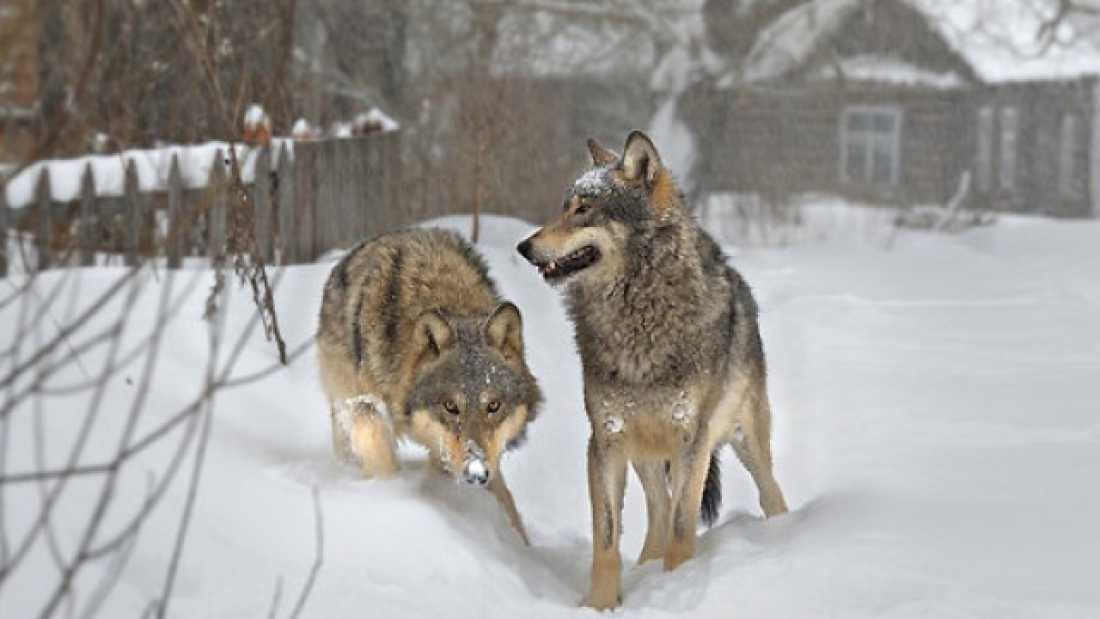 753 What Happens When Wildlife Reclaims Chernobyl?