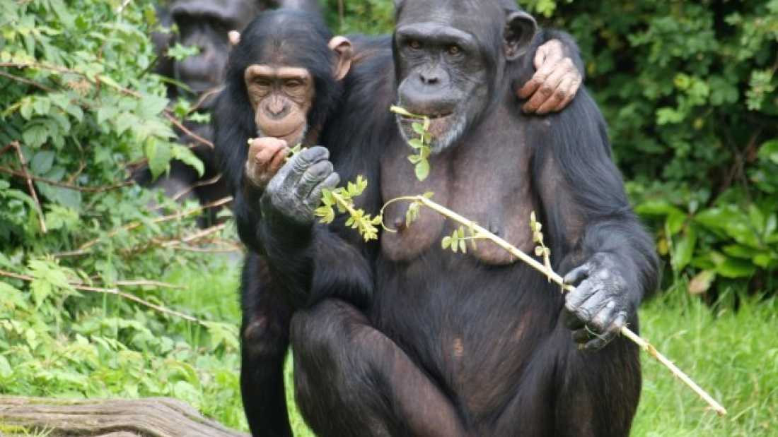 how humans are different from other primates Humans are animals, mammals, primates, and hominoids, and thus we   different chimpanzee communities, across their entire range, exhibit.