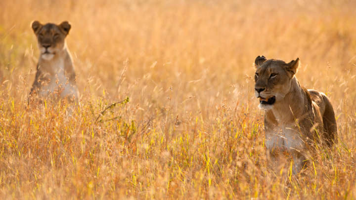 Poacher Found Decapitated After Being Mauled To Death By A Pride Of South African Lions