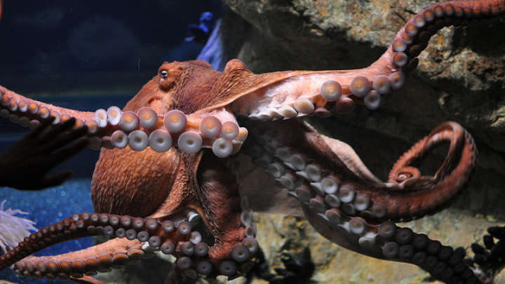 New Species Of Giant Octopus Discovered Off The Coast