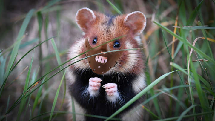 diet of corn is turning french hamsters into infant devouring cannibals iflscience. Black Bedroom Furniture Sets. Home Design Ideas