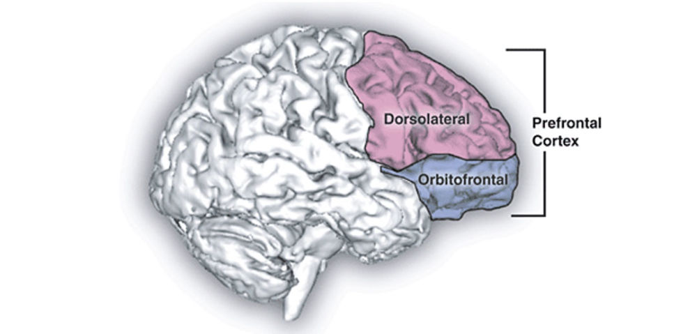 content-1469629596-prefrontal-cortex-by-
