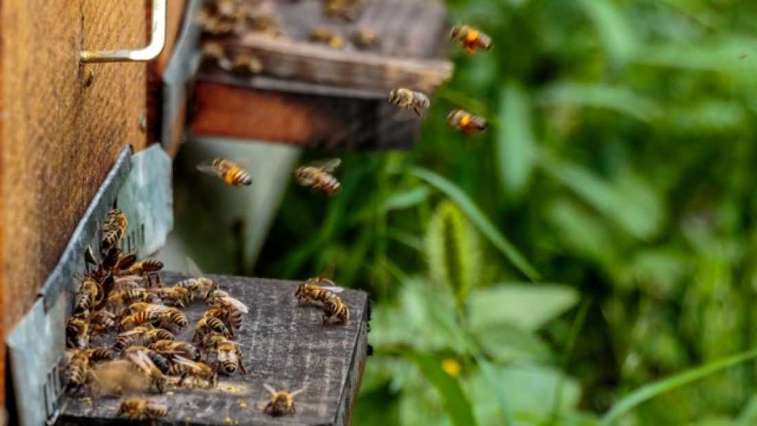 803 The Semen Of Honeybees Has Antimicrobial Properties That Could Help Protect The Hive
