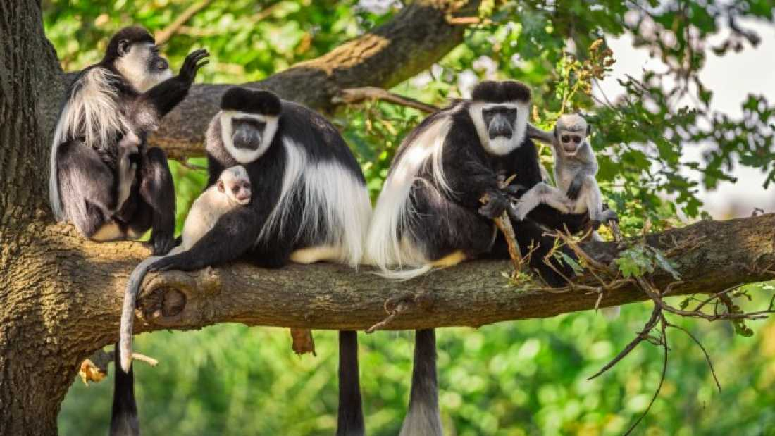494 Baby Colobus Monkeys Grow Faster To Avoid Being Murdered By Older Males