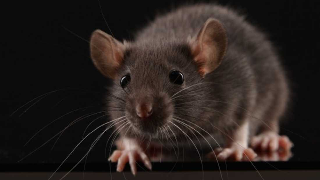 1018 Male And Female Rats Have Very Different Ways Of Dealing With Fear
