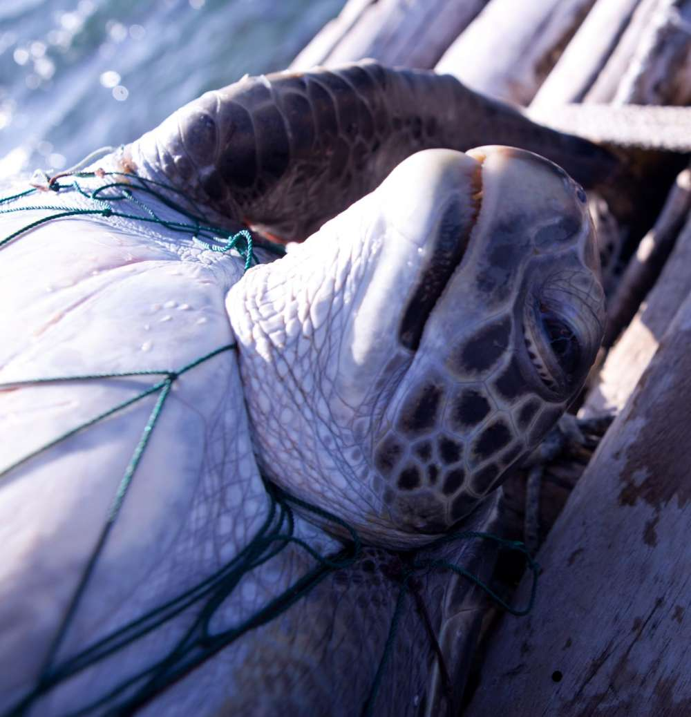 content-1528194835-turtle-bycatch.jpg