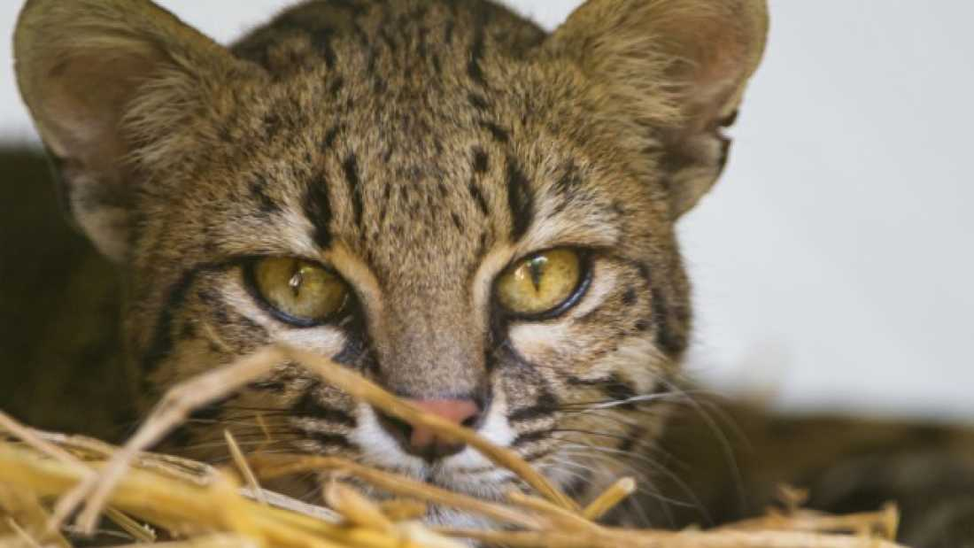 165 New Species of Cat Discovered in South America