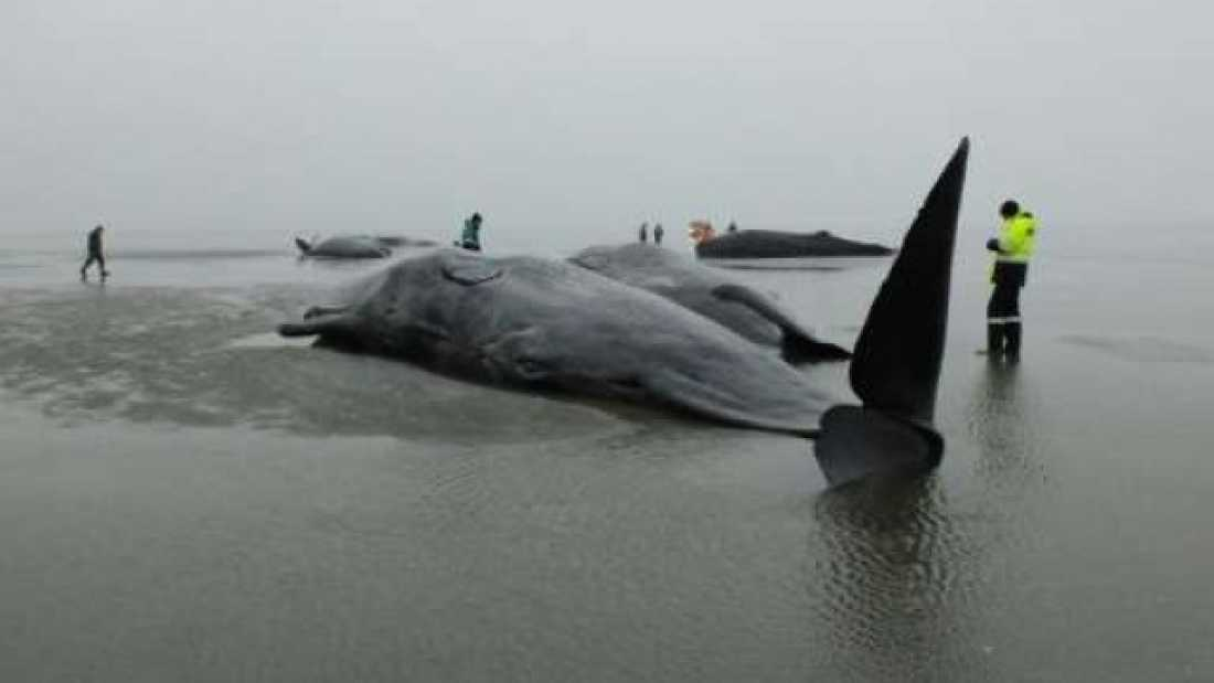 1056 Nine More Sperm Whales Found Dead In Northern Europe