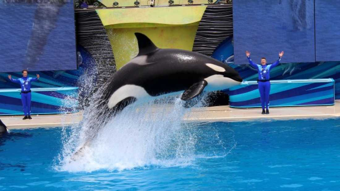 3550 SeaWorld Have Announced That They Are Ending Live Orca Shows