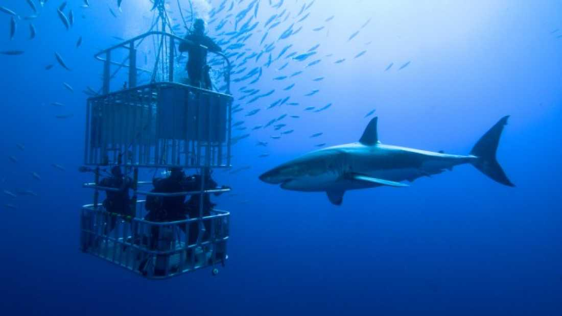 949 Touching A Great White Is A Really, Really Stupid Thing To Do