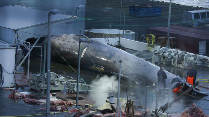 Icelandic Company Accused Of Capturing And Butchering First Blue Whale In 40 Years