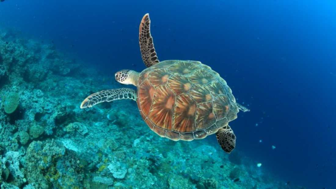 493 Sea Turtles Aged Using Carbon From Nuclear Bomb Tests