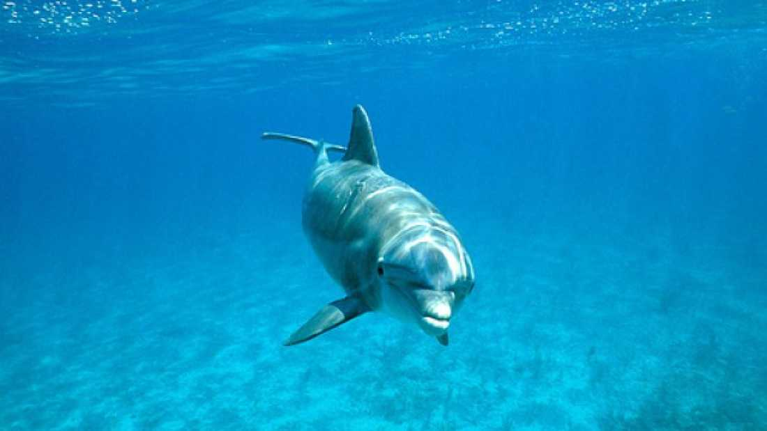 215 Dolphins get high on pufferfish toxin