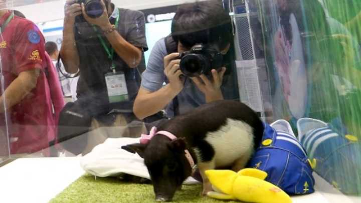 Scientists Have Genetically Engineered Micropigs To Sell