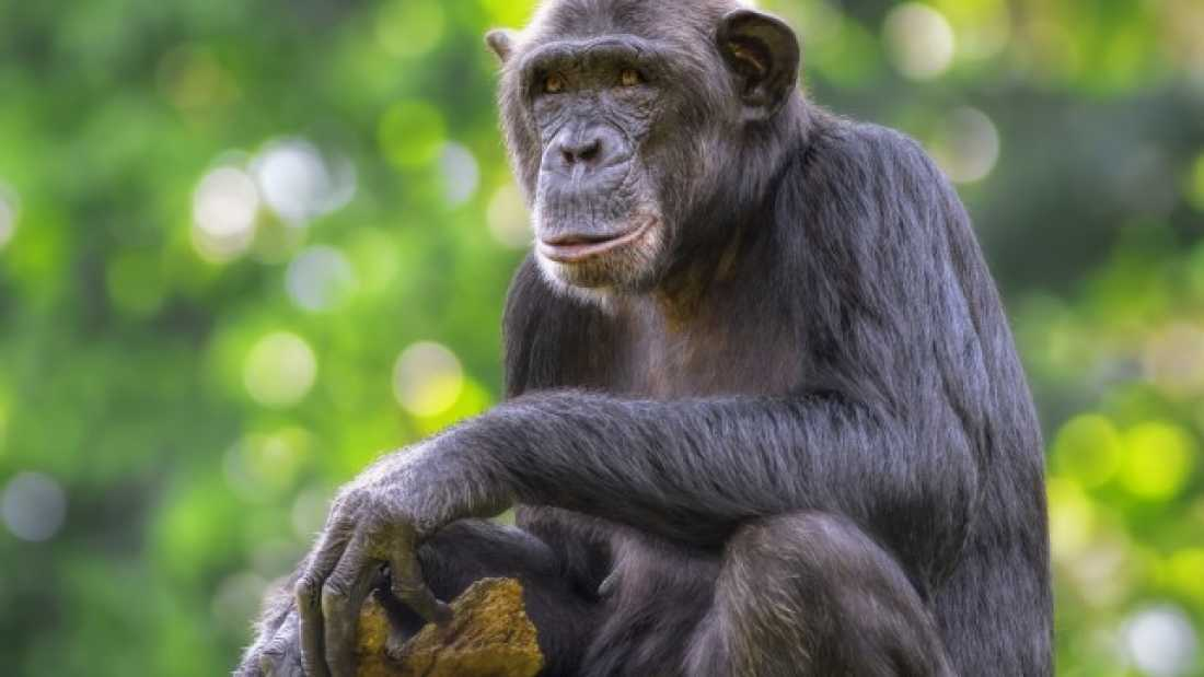 1305 Parasite Hijacks Chimps' Brains And Makes Them More Likely To Be Killed By A Leopard