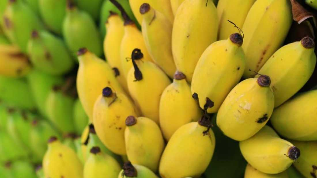 1204 Disease May Wipe Out World's Bananas – But Here's How We Might just save them