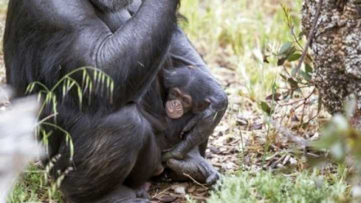 Orphaned Chimp Is Adopted By A Pregnant Female In An ...