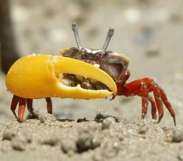 Male Fiddler Crabs Don't Know What Female Fiddler Crabs Want
