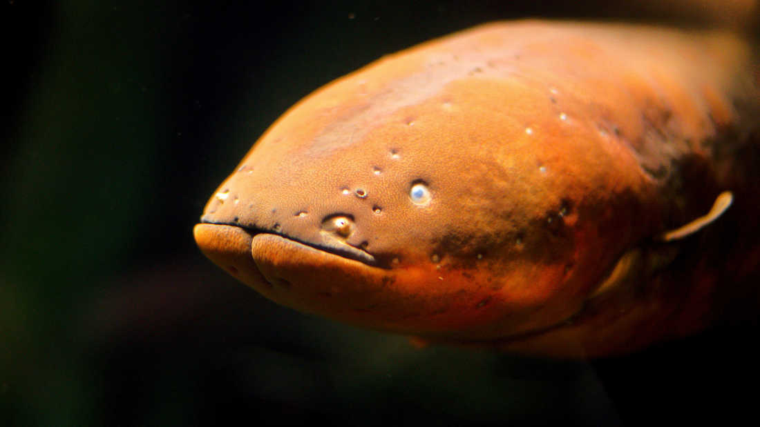physics electric eels I have a question about electric eels i was wondering how they, themselves, do  not get hurt by the electric shocks that they use to communicate.