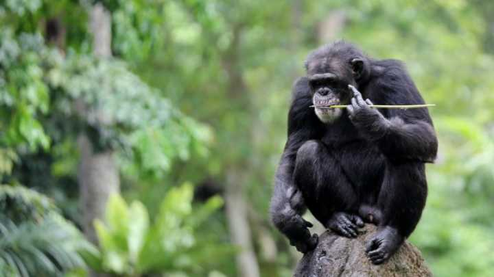 10 Amazing Human Behaviors In Apes And Monkeys