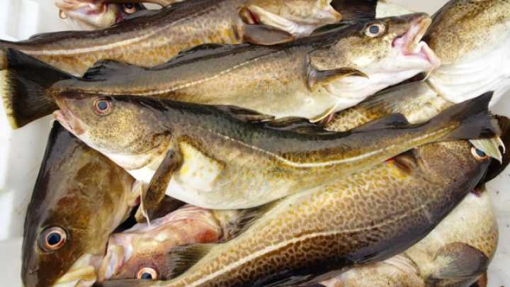 Is commercial fishing driving the evolution of fish for 94 1 the fish