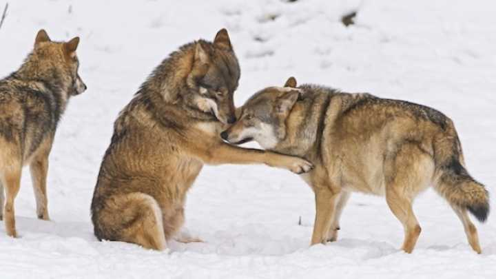 Wolves Cooperate With Each Other Dogs Form Hierarchies