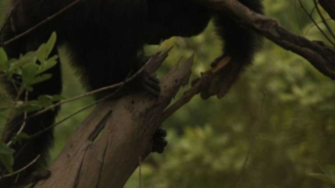 1584 Chimps Use Spears To Hunt