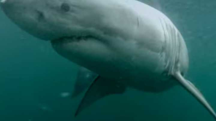 Man Swims Near Shark In Sydney Harbor Real Or Hoax IFLScience - Man fights great white shark sydney harbour jumping cliff