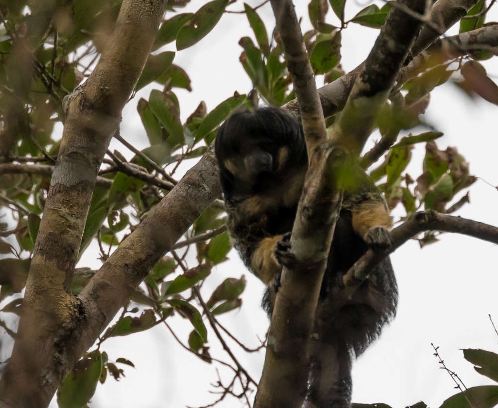 first ever photographs of elusive monkey not seen in the wild for