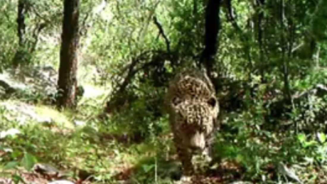 1094 The United States' Only Known Jaguar Caught On Video In Arizona