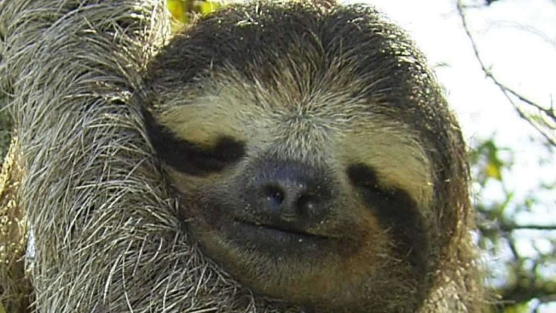 274 Fungi in sloth fur could have a wide variety of disease-fighting implications