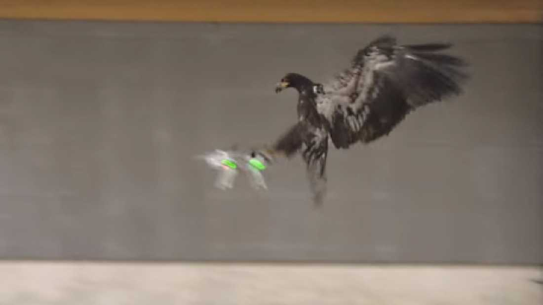 1044 Dutch Police Are Training Eagles To Take Down Drones