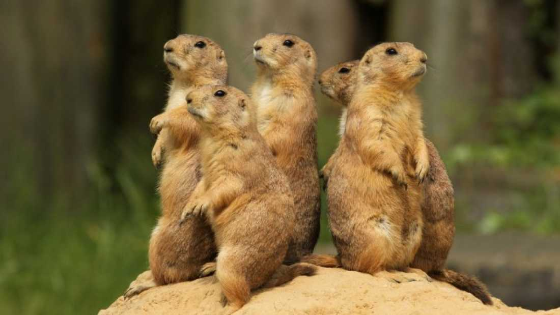 591 Why Are Herbivorous Prairie Dogs So Murderous?