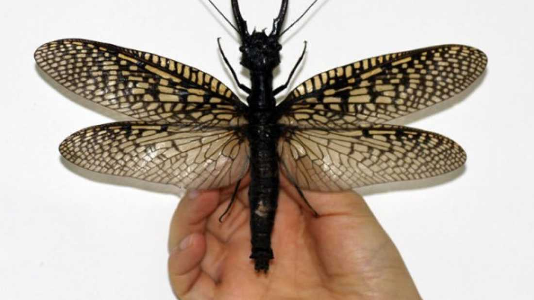 1573 World's Largest Aquatic Insect Discovered