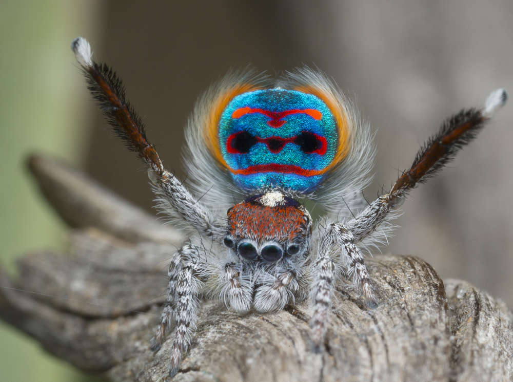 Unlike Most Other Arachnids, Majestic Jumping Spiders Can ...