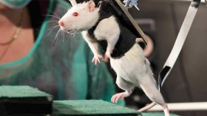Spinal Cord Stimulation Allows Completely Paralyzed Rats