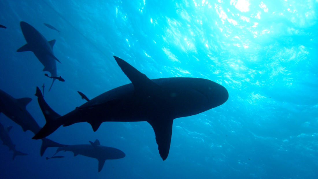 Wwf plans to buy shark fishing licenses so no one else can for Purchase florida fishing license
