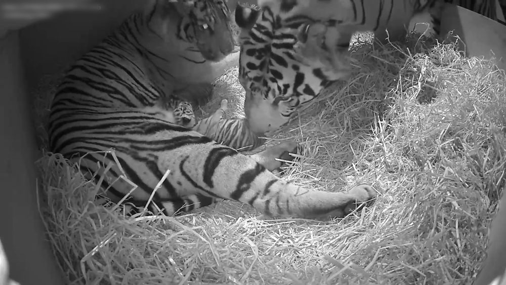 Two Of The World's Rarest Tigers Have Been Born At London ...