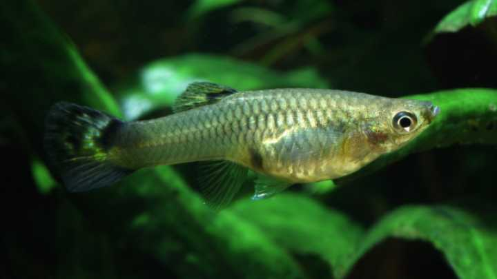 Evolution of live birth helped fish diversify iflscience for Ada s fish fry