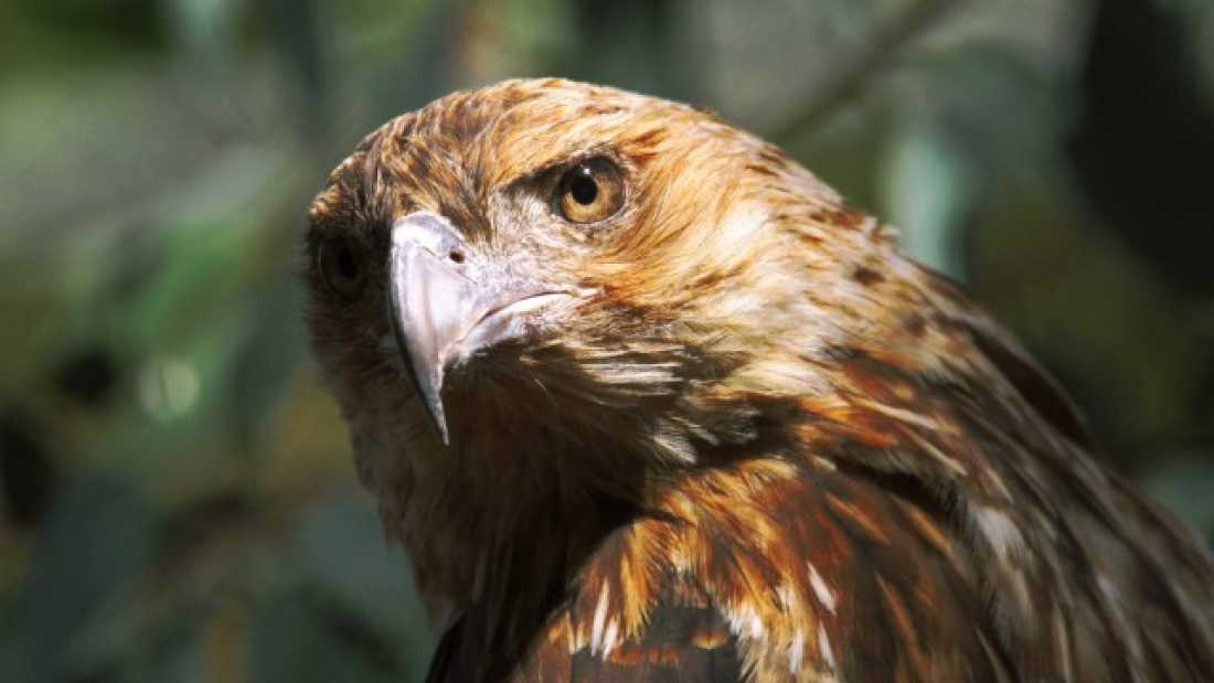 692 Australian Raptors May Be Playing With Fire